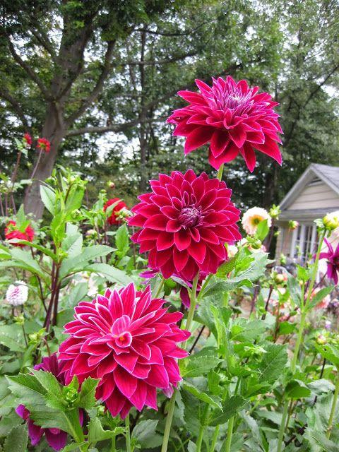 Bradley Aaron Dahlia   Cottage Garden Forum   GardenWeb