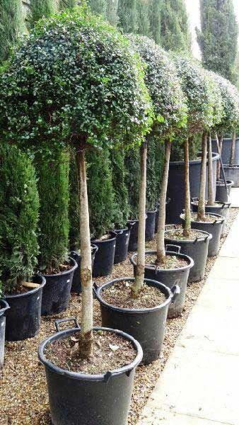Ligustrum Jonandrum Lollipop Topiary to buy online from Paramount Topiary Nursery, London UK