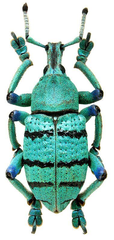 http://www.zin.ru/animalia/coleoptera/images/h_800/Eupholus-schoenherri.jpg Eupholus schoenherri Boisduval, 1835 (Curculionidae) New Guinea, West Irian