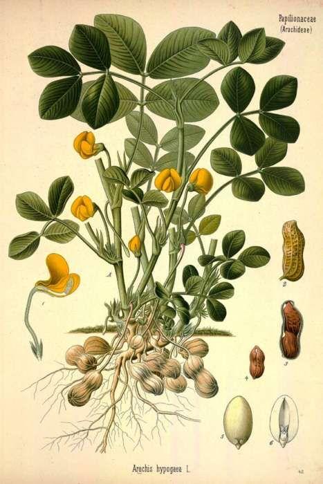 Arachis hypogaea L. - the Peanut    From: Köhler, F.E., Medizinal Pflanzen, vol. 3: t. 42 (1890)