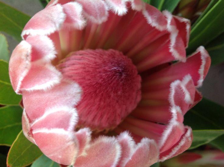 Compacta Protea