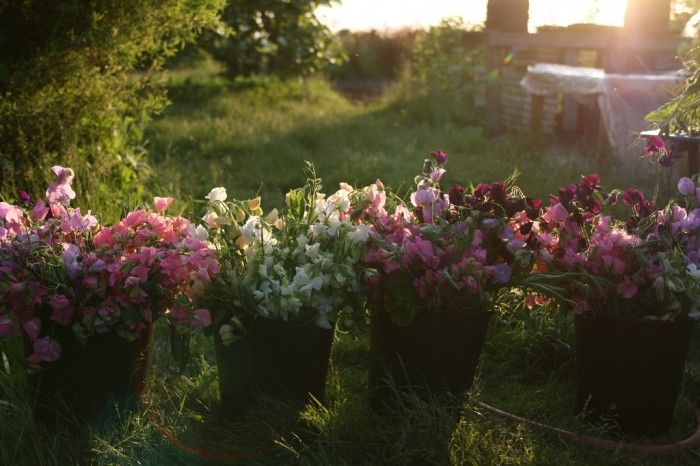 How to Grow Sweet Peas - part 2