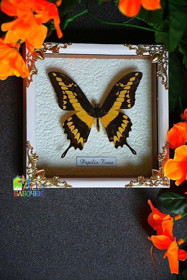 King Tropical Butterfly Framed Butterfly Anticue stile under glass gift collection real American  butterfly by HouseOfButterfly on Etsy