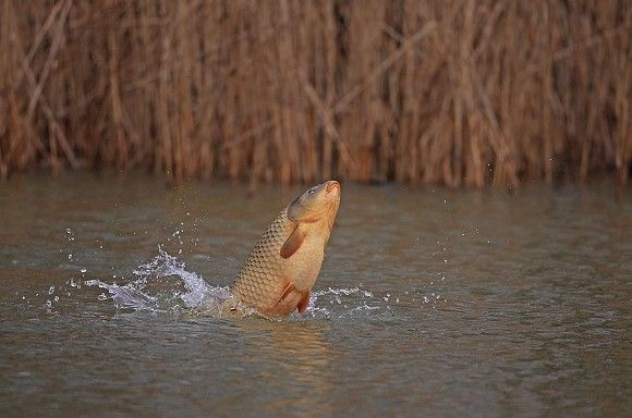 Why carp jump and what it means...