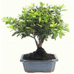 Venkovní bonsaje - prodej - Svět bonsaji.cz