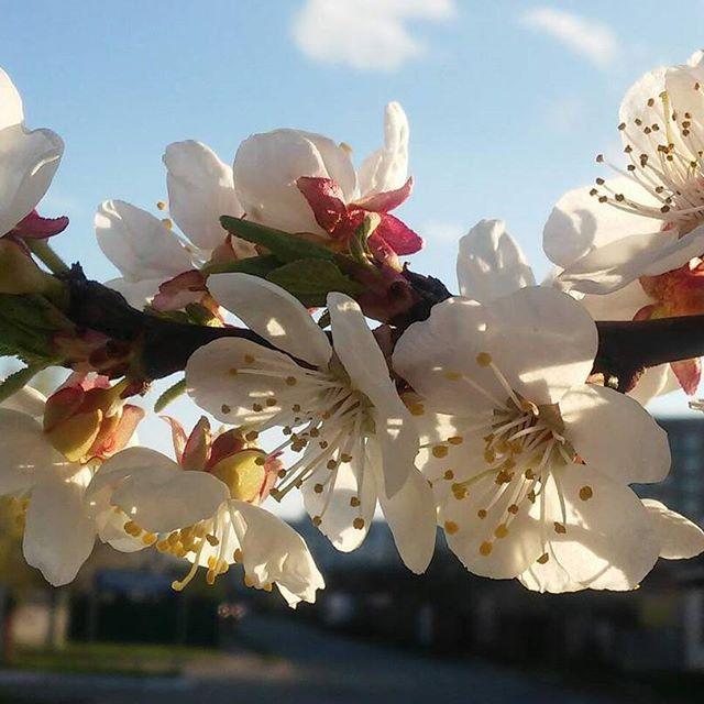 Весна пришла, потом ушла, видимо что-то не устроило😂  Через недельку вернулась (а куда деваться, апрель месяц всё же), но не на долго...наверное у неё интрижка на стороне, с каким-нибудь февралём😀😀😀  Но цветочки🌸на деревьях красивенные распустились))) не смотря на холооооод ☔⚡☁
