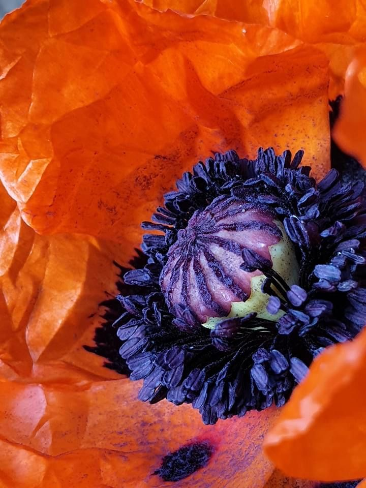 Halloween 2020 Christo Pin by CHRISTO Philo on Flowers   Poppies in 2020 | Drawing