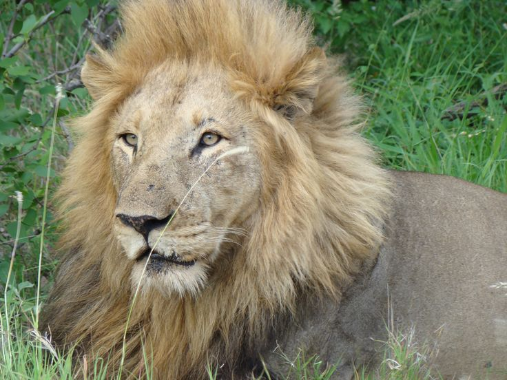 The local lion