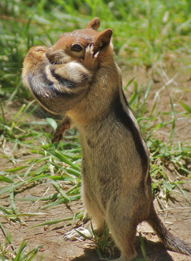 A chipmunk mother holding her baby in her arms.