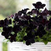 Crazytunia Black Mamba Petunia Plant  |  Best Black petunia on the market.  Pure black, velvety, medium to large blossoms grown in a mounding habit with exceptional heat tolerance, never fading or streaking, even as they age.