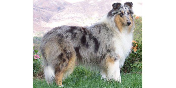 The Genetics Of Merle Coat Patterns In Dogs Merle Coat Patterns