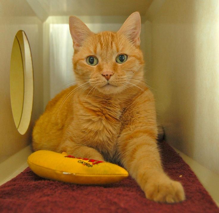 "Sundancer says ""Banana"" Success rate, Cats, Hyperthyroidism"