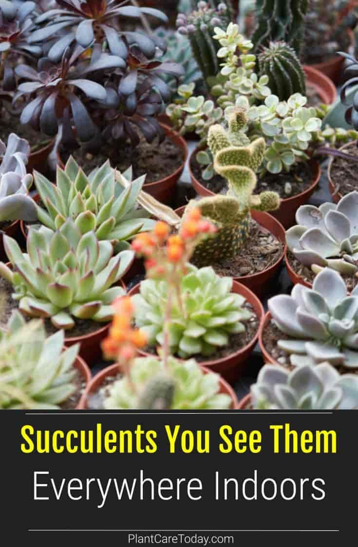 Succulents You See Them Everywhere Indoors Plant Care Today Succulents Plant Care Today Plants