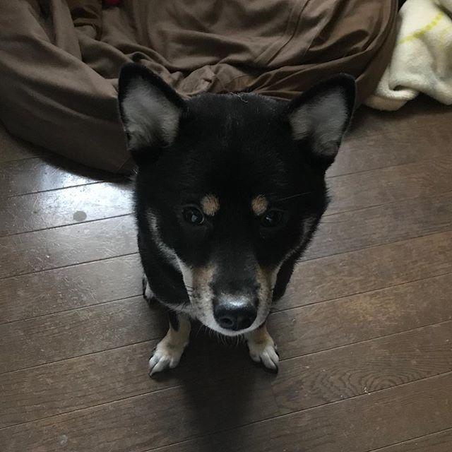 待てなうゴマかわいい #柴犬#黒柴#愛犬#dog