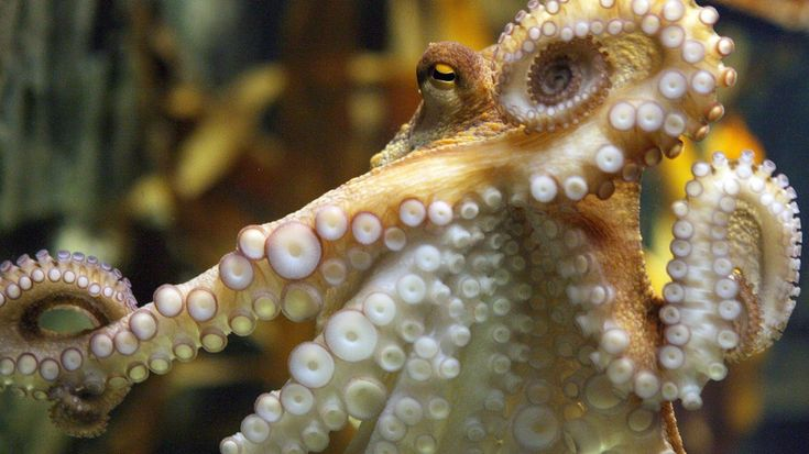 These tiny baby octopuses hatching will brighten your miserable existence