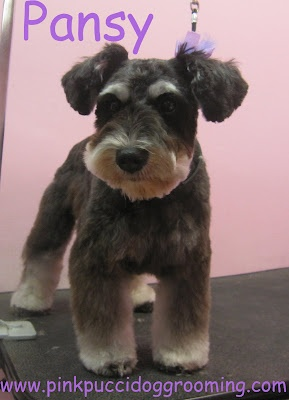 40 best nice grooming images on pinterest doggies funny stuff and torrance best dog grooming shop specializes in japanese dog styling solutioingenieria Choice Image
