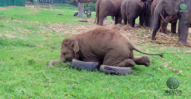 Het Olifanten Natuur Park in Noord Thailand gaf deze kleine olifantjes een drietal oude banden. In onderstaand filmpje zie je lees meer...