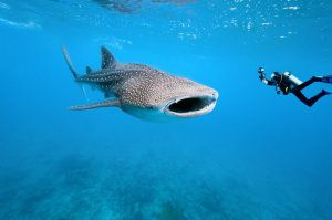 Whale shark fringe migration: 16-year study suggests Azore islands may play increasing role in whale shark habitat