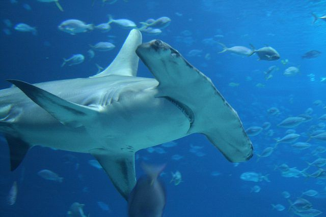 Great Hammerhead Shark Photo