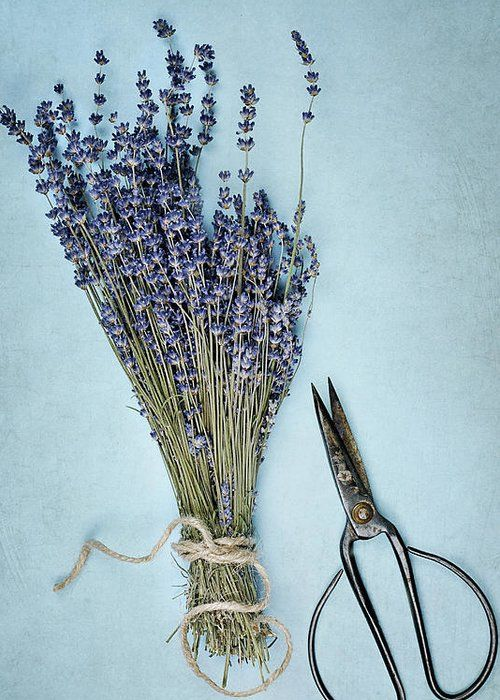 Lavender And Antique Scissors by Stephanie Frey