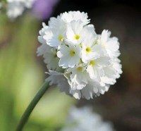 Primula denticulata blanc