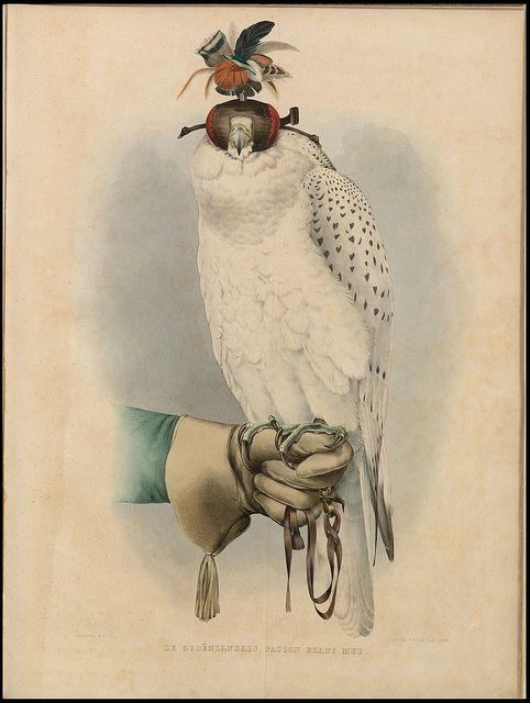 Falconry!!!! Le Groënlandais, Faucon Blanc Mué in 'Traité de Fauconnerie' by H Schlegel, 1853 by peacay, via Flickr