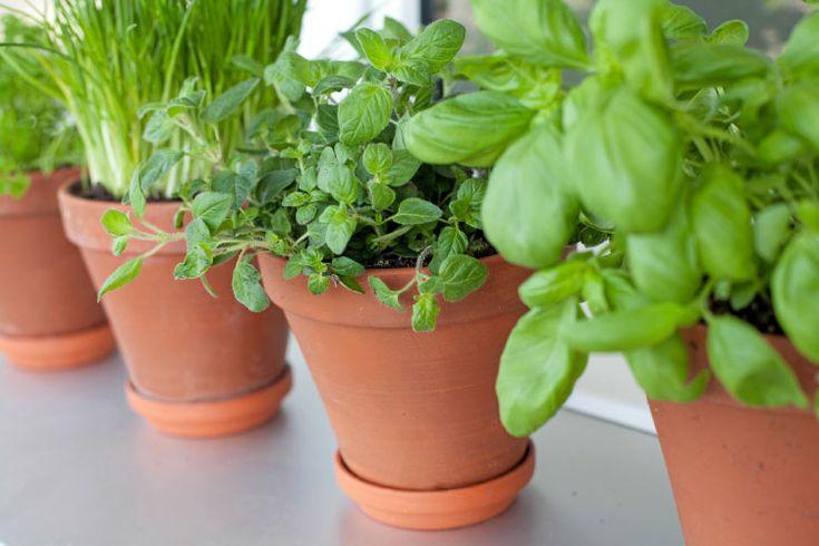 Krydderurter til udplantning i potter på terrasse