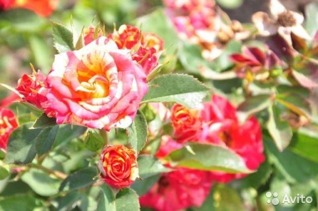 Саженцы роз для реализации в 2017 году — фотография №3