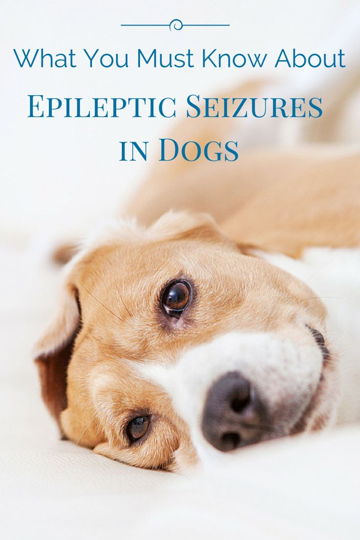 Did you know seizures in dogs can be caused by a genetic predisposition?   Find out what are the causes, treatment and how you can prevent it: