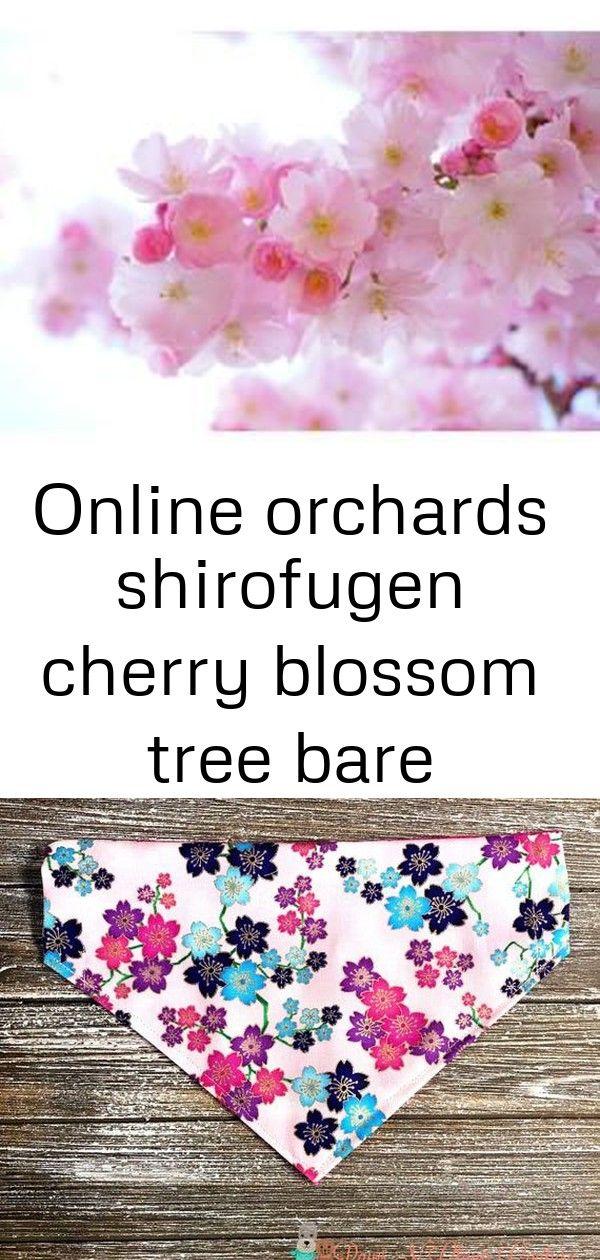 Online Orchards Shirofugen Cherry Blossom Tree Bare Root Flch003 Cherry Blossom Tree Blossom Cherry Blossom
