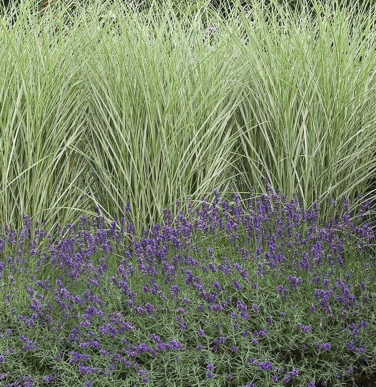 Miscanthus morning light and lavander planting for Planting schemes with grasses