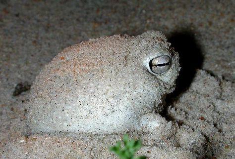 ¿Una rana que croa como un patito de goma? Breviceps namaquensis  En este vídeo se puede escuchar el curioso croar de esta rana de extraño aspecto y endémica de Sudáfrica y Namibia.   La especie Breviceps namaquensis tiene su hábitat natural en los ecosistemas de matorral y playas de clima subtropical o tropical.   Cuando son adultas pueden alcanzar un tamaño de cinco centímetros.