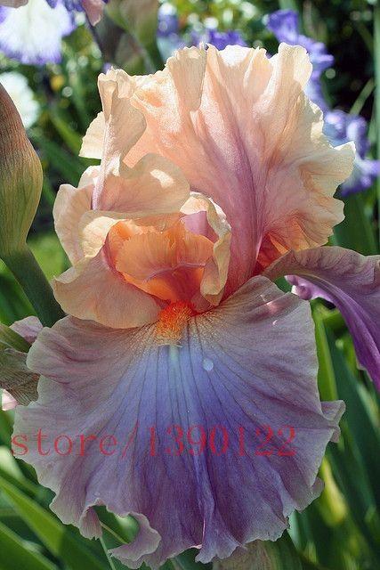 50 шт. редкие ирис, Бонсай цветок, 24 цвета, Фамильные ирис кровельный многолетнее семена цветов, Растений для дома садкупить в магазине happy plantingнаAliExpress