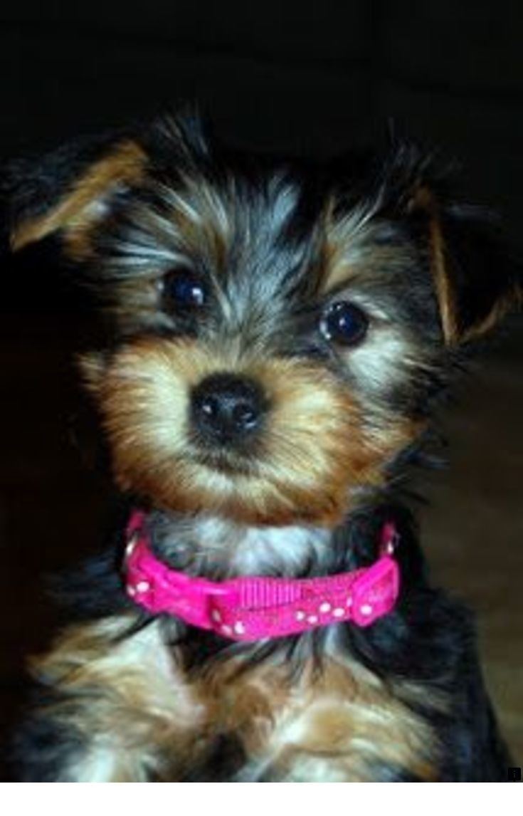 Find More Information On Yorkie Poo Please Click Here To Get More