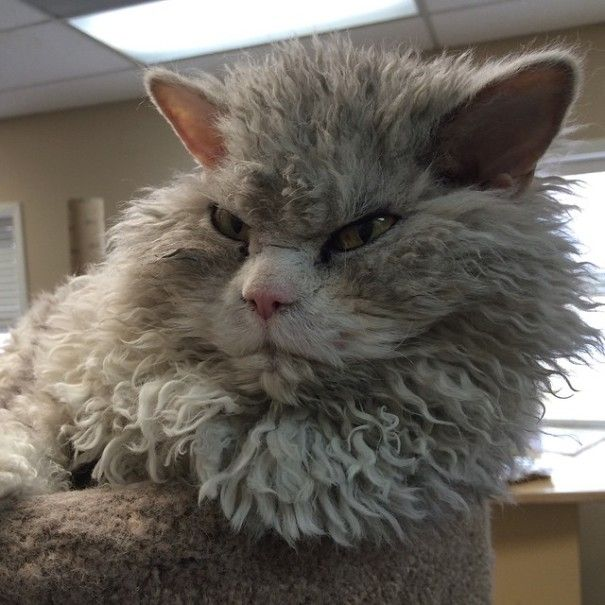 """""""Bitchy resting face"""" is a totally serious condition in which an individual's resting, unemotional face naturally looks like it's angry. Albert the cat suffers from this serious condition, which is hilarious because his luscious, curly fur also makes him look like a sheep (the curls are a hallmark of his breed, the Selkirk Rex)."""