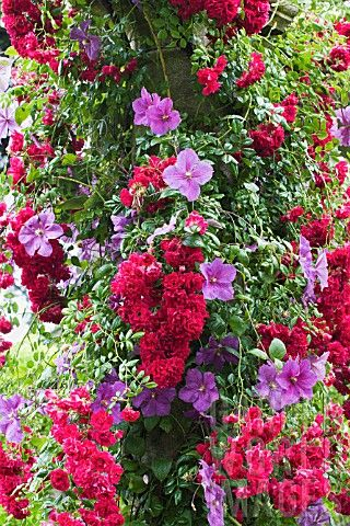 Plant climbing combo~~Clematis 'Victoria' & Rosa 'Crimson Shower' Rambler Rose by Trevor Sims~~