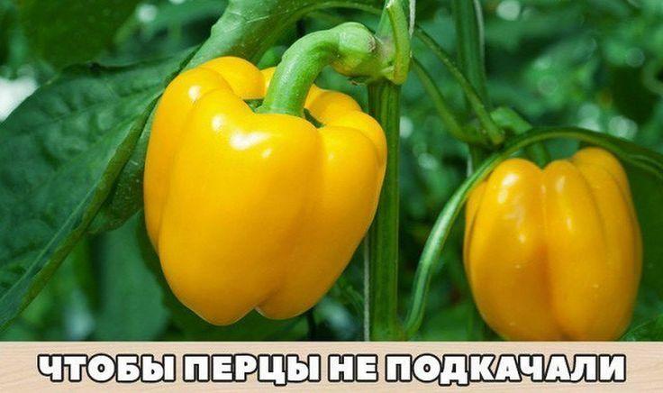 Перцы - моя слабость. Итак, вот что нужно делать, чтобы перцы не подкачали и дали огромный урожай. 1. Выращивать перцы нужно только через рассаду и в т... - sad-ogorod - Google+
