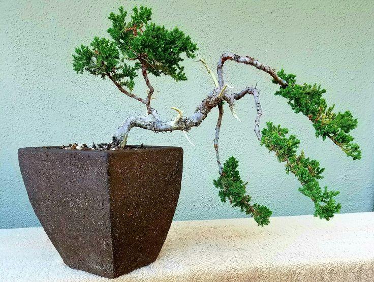 114 best Semi Cascade Bonsai images on Pinterest   Bonsai, Bonsai ...