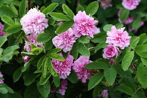 Tornionjokilaakson ruusu. Rosa Majalis 'Tornedal'