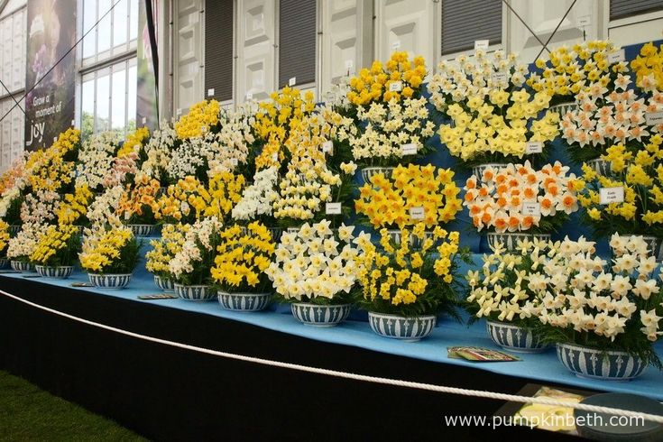 This magnificent display of daffodils was created by Walkers Bulbs at Taylors.  Pictured in the Great Pavilion at The RHS Chelsea Flower Show 2017.