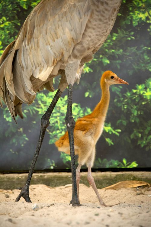 Orphaned sandhill crane chick being cared for by SeaWorld Orlando.  It looks like it was stretched out.  How cute!