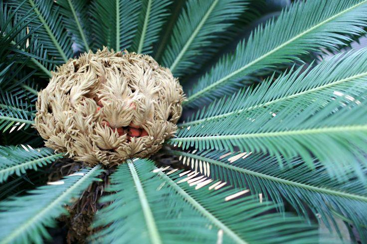 Palmera fruto semilla