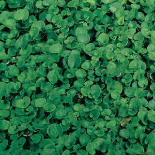 """Put away the lawn mower for good -- with robust, year-round ground coverage from Dichondra, you may never use it again! These tiny lily pad-shaped leaves are as exquisite to look at as they are easy to care for. Happy in sun or part shade, they arise so densely that you may never have to tackle """"bare spots"""" in the lawn again!This plant reaches just 1 to 2 inches high, remaining neat all year. It spreads readily, with one pound of seed covering 1,000 square feet. The foliage ranges from 1/4…"""