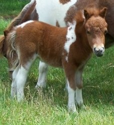 1000+ images about Mini Horses on Pinterest | Miniature ...