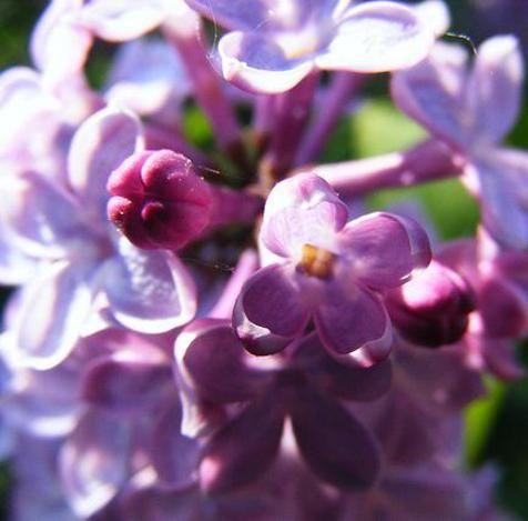 Lillà il fiore di primavera che cura l'ipertensione e rilassa mente e corpo