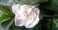 Una flor que inspira boleros y baladas románticas