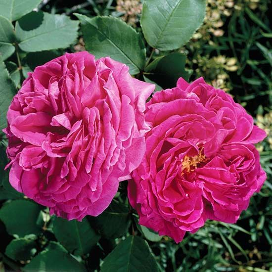 the most fragrant roses for your garden - Fragrant Roses
