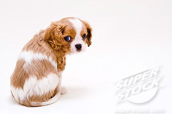 Rear view of a Cavalier King Charles (Blenheim coat) puppy