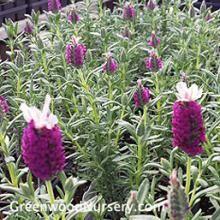 Kew Red Lavender Plants | Fragrant Perennial Plants
