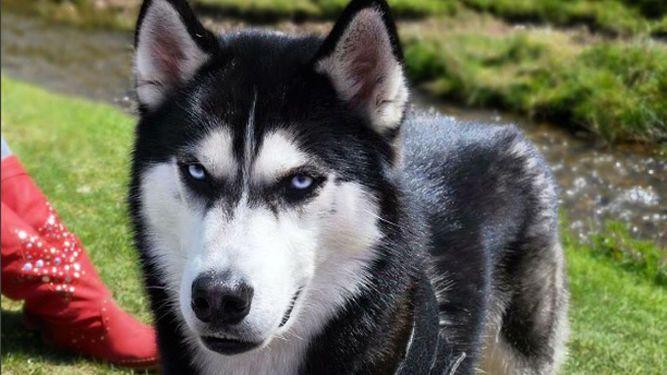 Anuko, el perro 'gruñón' que ha pagado los estudios de su dueña